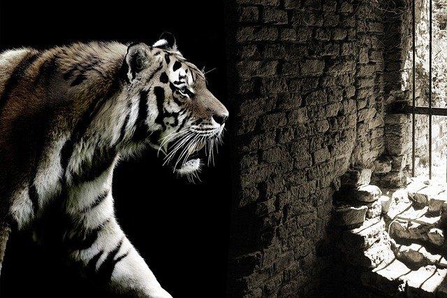 tygr za mříží