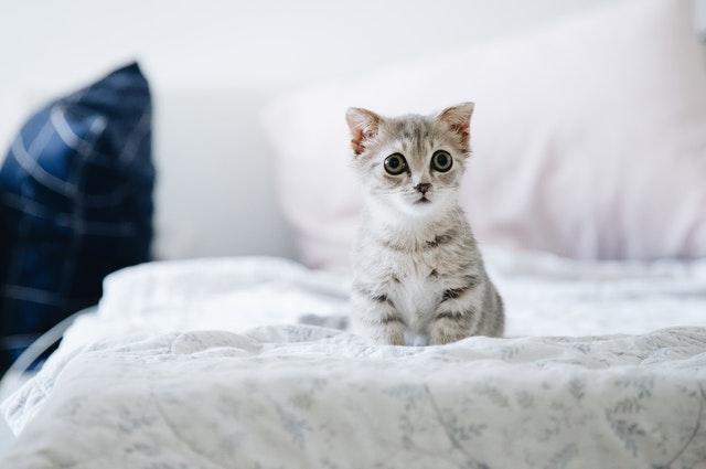 šedobílé kotě na posteli